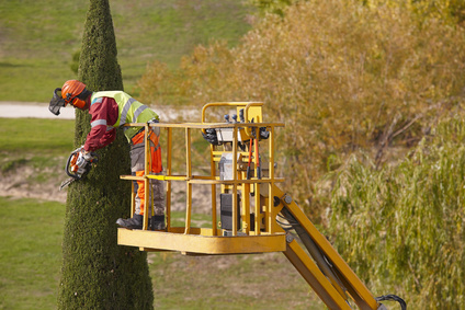 Equipped man on a crane pruning a cypress with chainsaw. Horizontal